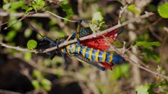 Colorful Madagascaran Locust crawling on twigs