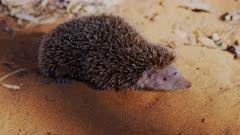 Lesser Hedgehog in Madagascar desert