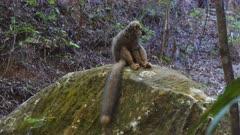 Common Brown Lemur sits on a rock