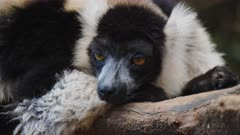 Black and White Ruffed Lemur sitting on a branch