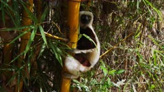 Coquerel's sifaka sitting on Bamboo