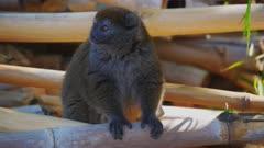 Gray Bamboo Lemur sitting on Bamboo