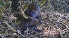 Gray Bamboo Lemur sitting on the Ground