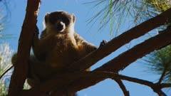 Mongoose Lemur sitting in a tree
