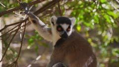 Ringtailed Lemur sits in the treetops