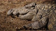 Crocodile itself sunning on a bank