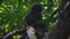 Greater Gray Bamboo Lemur sitting on a branch