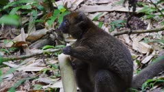Greater Gray Bamboo Lemur sitting on the ground eating Bamboo