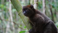 Greater Gray Bamboo Lemur sitting on Bamboo