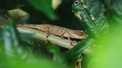 Brown camouflaged Chameleon on a branch at night