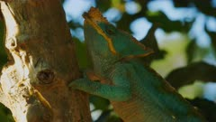 Parsons Chameleon on a branch