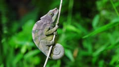 Chameleon on a branch at night