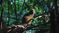 Golden Bamboo Lemur sitting on a branch