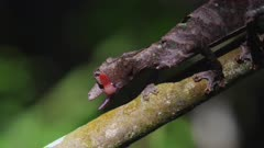 Leaf Tailed Gecko on a branch licks his eye