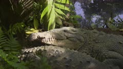 American Crocodile rests on the shore