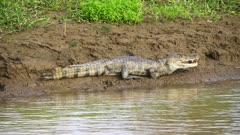 A Caiman rests on river bank