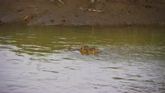 A Caiman floats in the muddy waters of a river