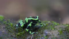 Colorful Black and Green Poison Dart Frog