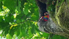 Scarlet Macaws in their nest high in the trees