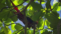 Scarlet Macaws foraging for almonds in the trees