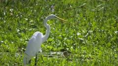 A White Bird stalking prey in wetlands