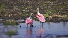 Roseate Spoonbills preening in wetlands