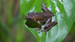 Tropical Frog on green foliage