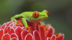 Colorful Tropical Red Eyed Tree Frog