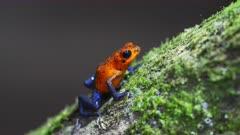 Colorful Blue Jeans Poison Dart Frog