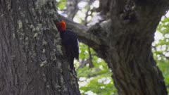 Red Headed Woodpecker making a nest