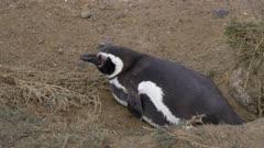 Nesting Penguin on the Patagonia Atlantic shore