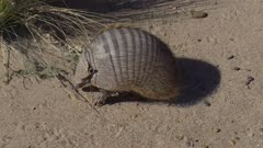 Armadillo foraging for food in brush