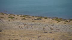 Herd of Guanaco grazing on grass