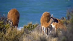 Herd of Guanaco grazing in brush by sea