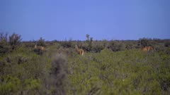 Herd of Guanaco grazing in brush