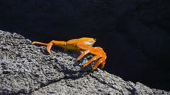 Sally Lightfoot Crab on the shore in the Galapagos