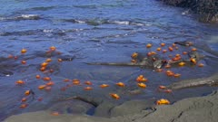 Sally Lightfoot Crabs on the shore in the Galapagos