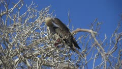 Red Footed Booby in a tree