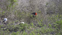 Frigate Bird in a tree