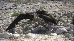 Frigate Bird feeding chick