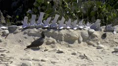 Nazca Booby on the ground