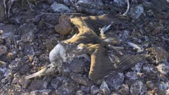 Dead Nazca Booby chick on the ground