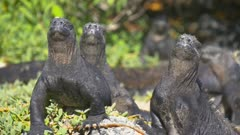 Marine Iguanas sunning on the beach in the Galapagos
