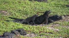 Marine Iguanas sunning on the beach in the Galapagos