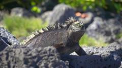 Marine Iguana on the rocks in the Galapagos