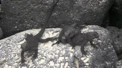 Baby Marine Iguanas on the rocks in the Galapagos