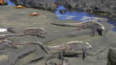 Marine Iguanas and Sally Lightfoot Crab on the rocks in the Galapagos