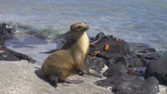 Sea Lion laying on the beach in the Galapagos