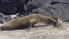 Sea Lion with pup on the beach in the Galapagos