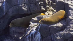 Fur Seals resting on the rocks in the Galapagos